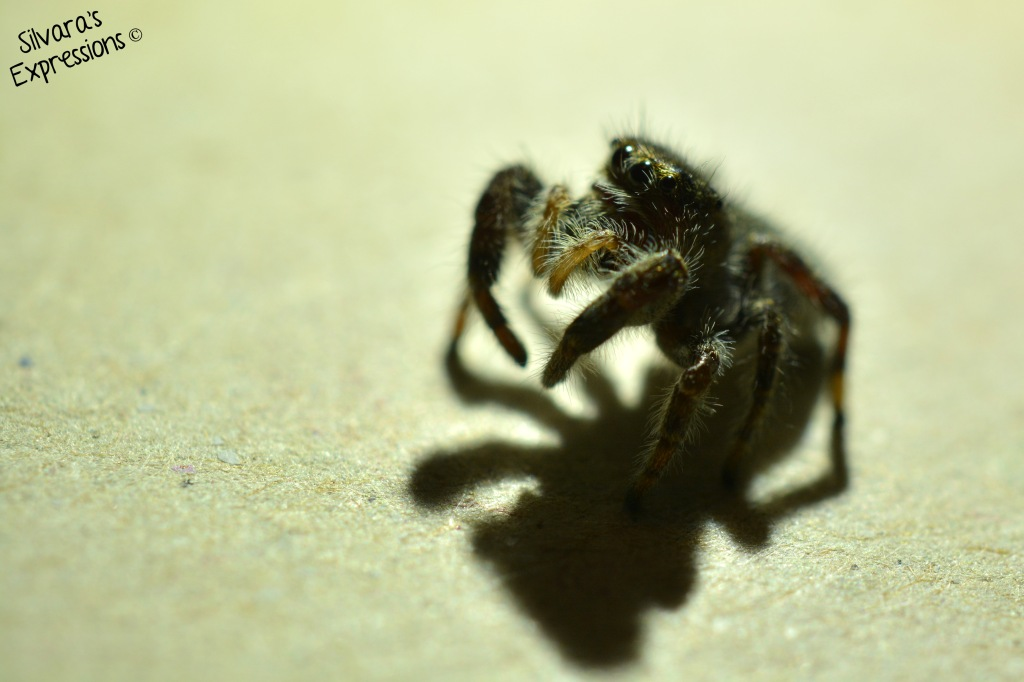 2014-10-01 - Jumping Spider 001