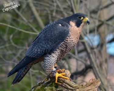 Halton Conservation Birds of Prey 013