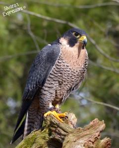 Halton Conservation Birds of Prey 014