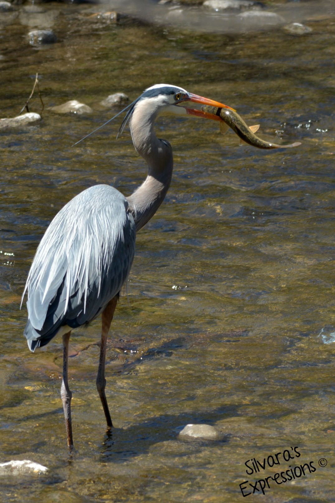 2016-04-27 - Iron Horse Trail, Blue Heron