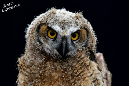 2016-05-14 - Baby Great Horned Owl 002