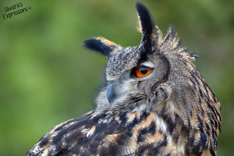 2016-05-14 - Eurasian Eagle Owl 002