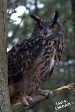 2016-05-14 - Eurasian Eagle Owl 003