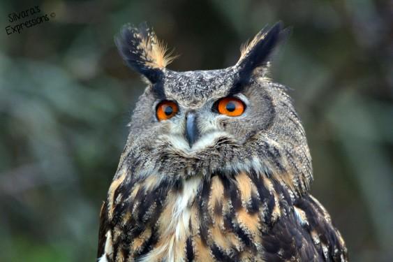 2016-05-14 - Eurasian Eagle Owl 004