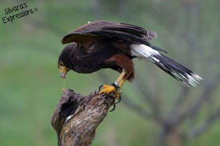 2016-05-14 - Harris Hawk 002