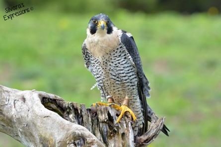 2016-05-14 - Peregrine Falcon 002