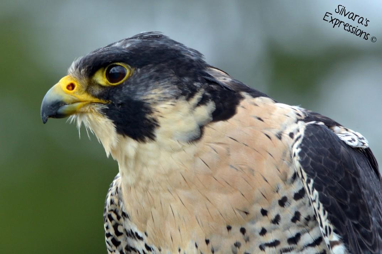 2016-05-14 - Peregrine Falcon 005