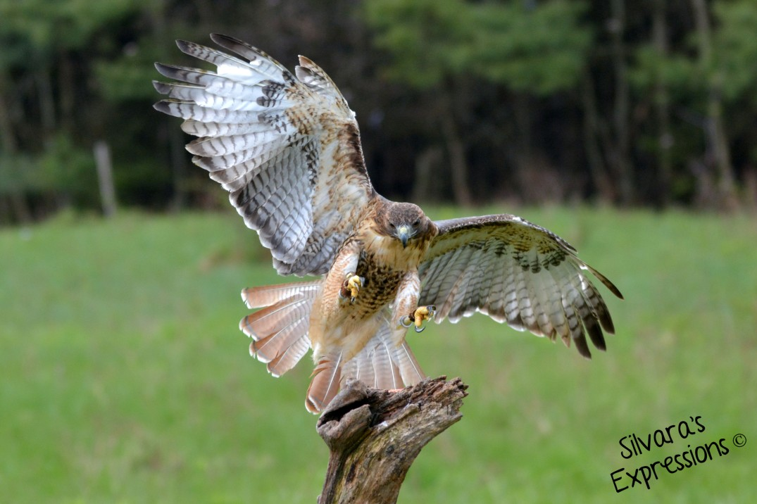2016-05-14 - Red Tailed Hawkl 001