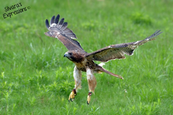 2016-05-14 - Red Tailed Hawkl 002
