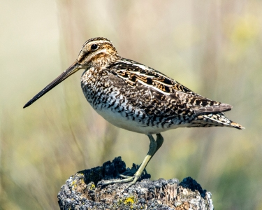 common-snipe